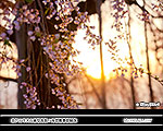 New No.6 MONTHLY 【夕暮桜】